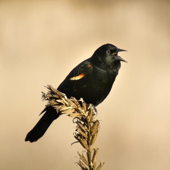male red-winged blackbird-