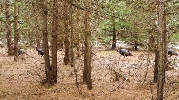 tom turkeys-tamarack nature center