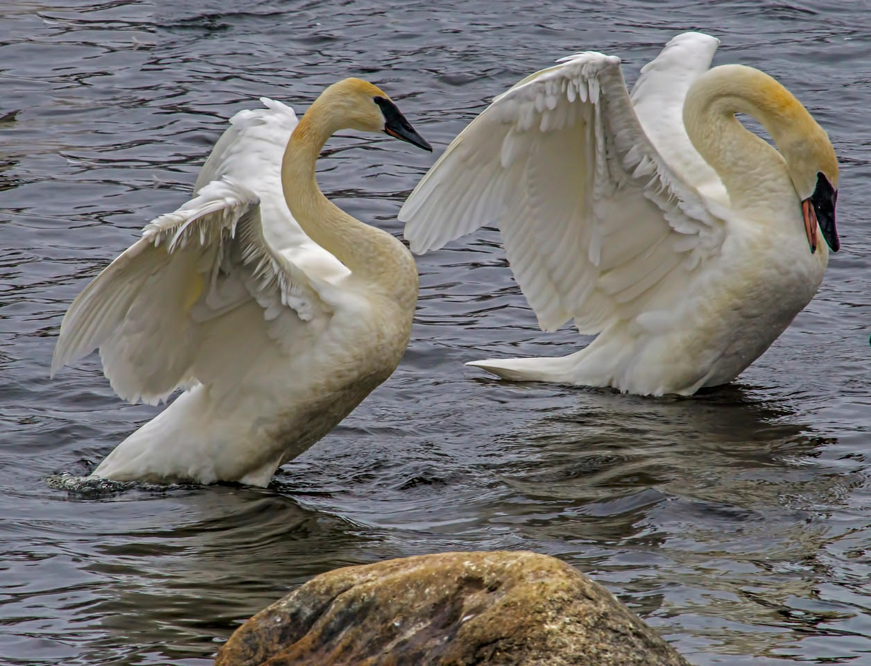 trumpeter swan-Jim Radford