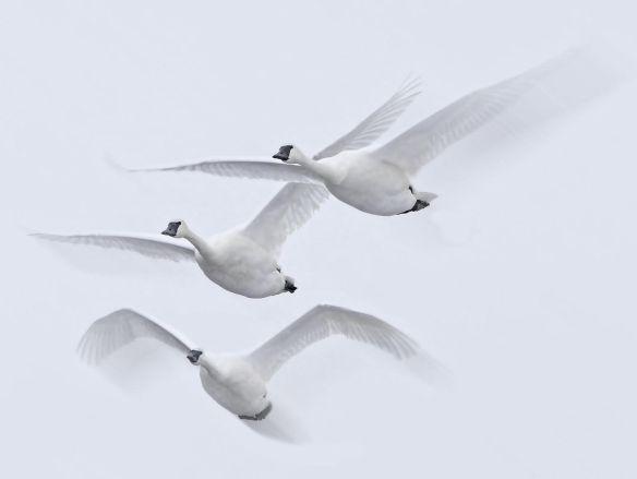 trumpeter swan--Jim Radford
