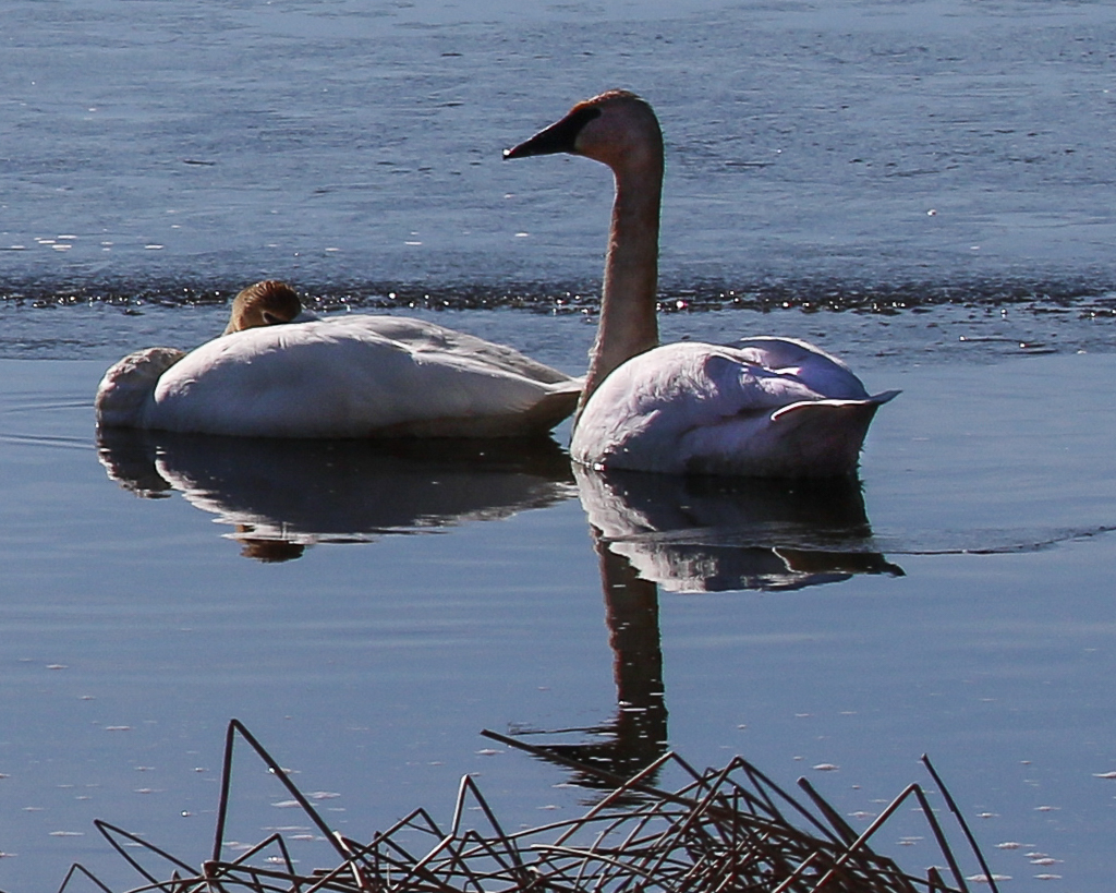 trumpeter swans-