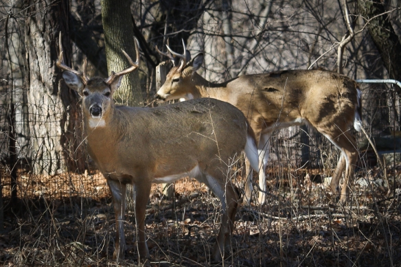 white-tailed deer bucks-