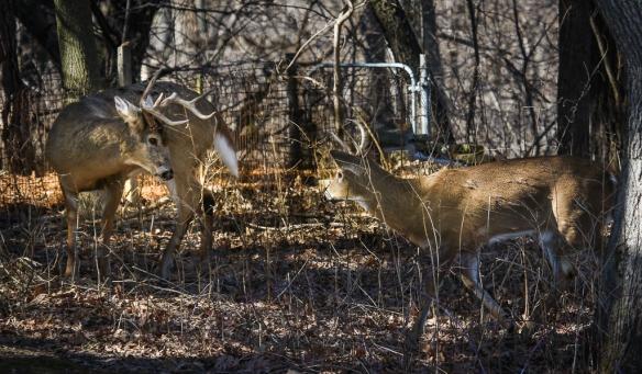 white-tailed deer bucks-