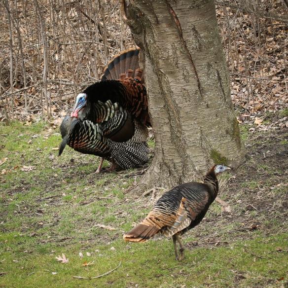 wild turkey displays