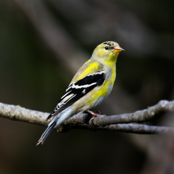 american goldfinch male-