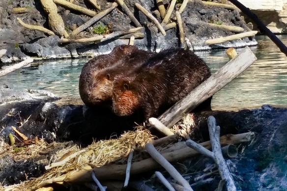 beaver family-MN Zoo-