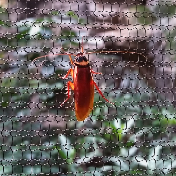 cockroach-MN Zoo-