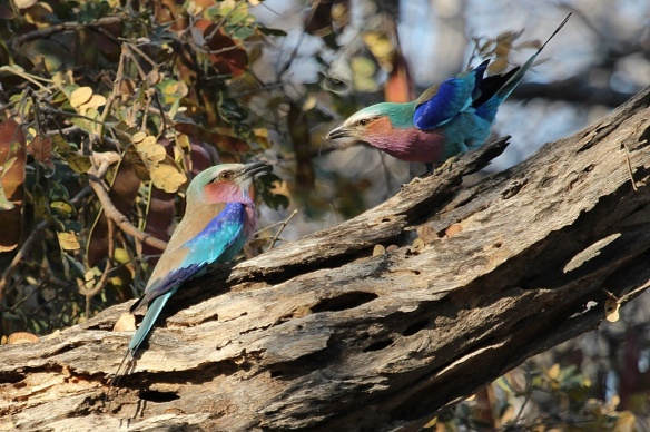 courtship feeding-lilac-breasted roller