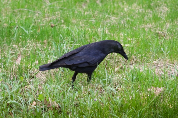 crow foraging-