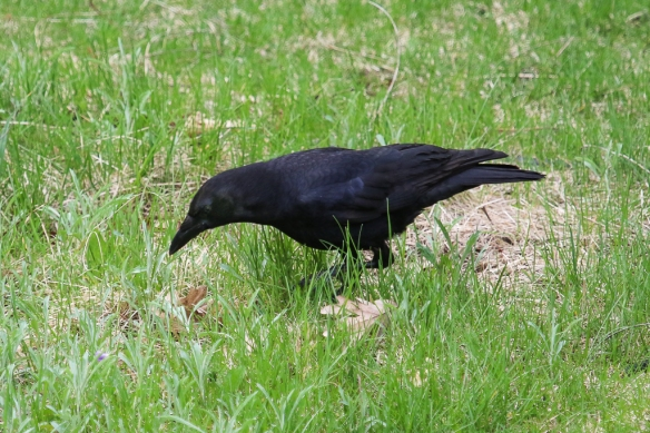 crow foraging