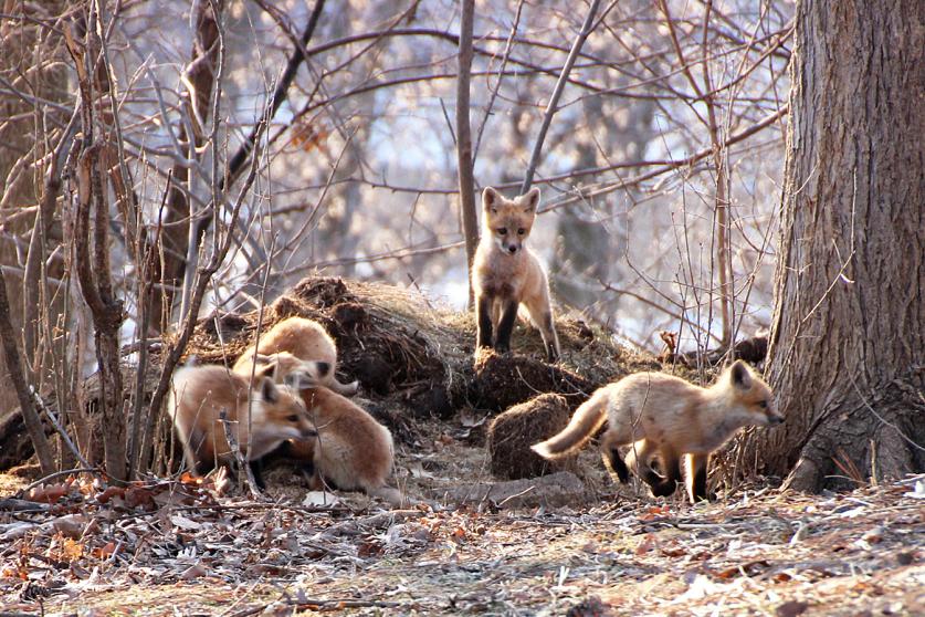 red fox-kits