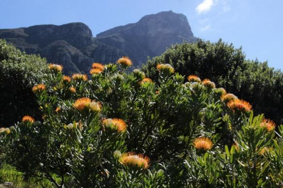 protea garden, Kirstenbosch, Cape Town, SA