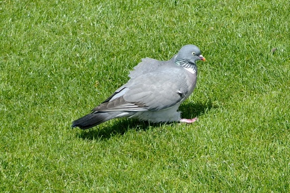 A stray Wood Pigeon wasn't finding much to nibble on among the dense carpet of grass stems.