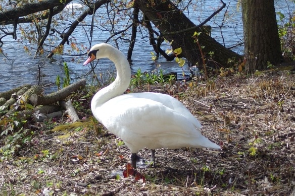 Mute Swans are the native swan species of Europe.  They