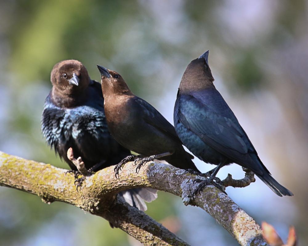 male cowbird courtship display-