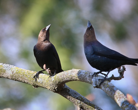 male cowbird courtship display-