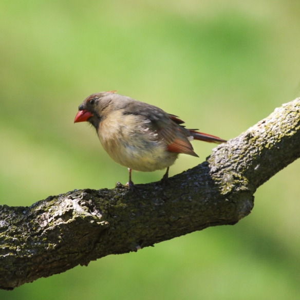 northern cardinal female-