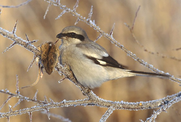 northern shrike-courtship food