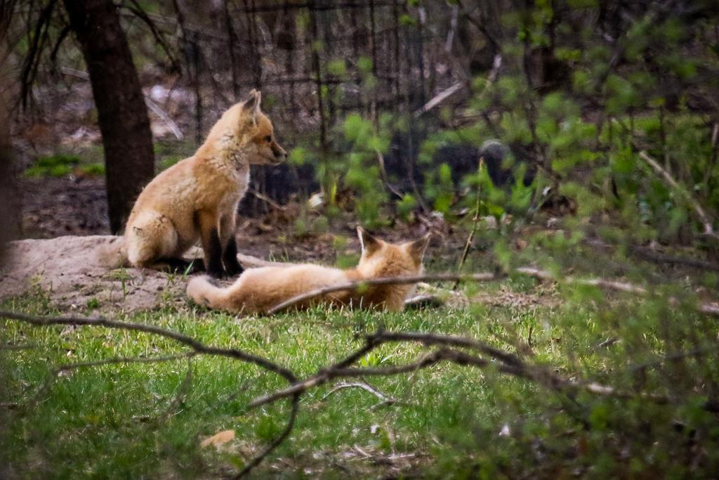 red fox pups-