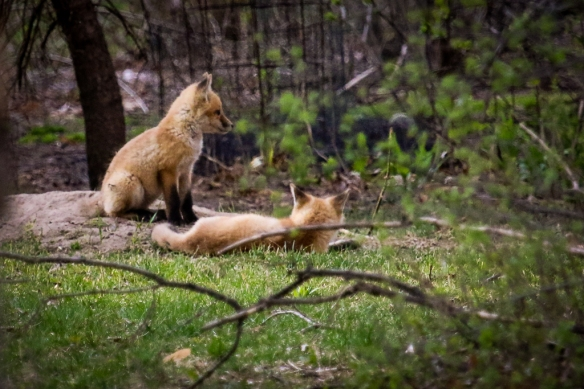 red fox pups-