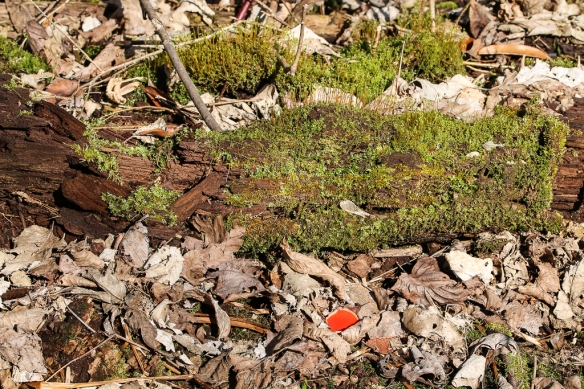 The bright scarlet color of the scarlet elf cup (or scarlet elf cap) mushroom made them easy to spot through the litter.