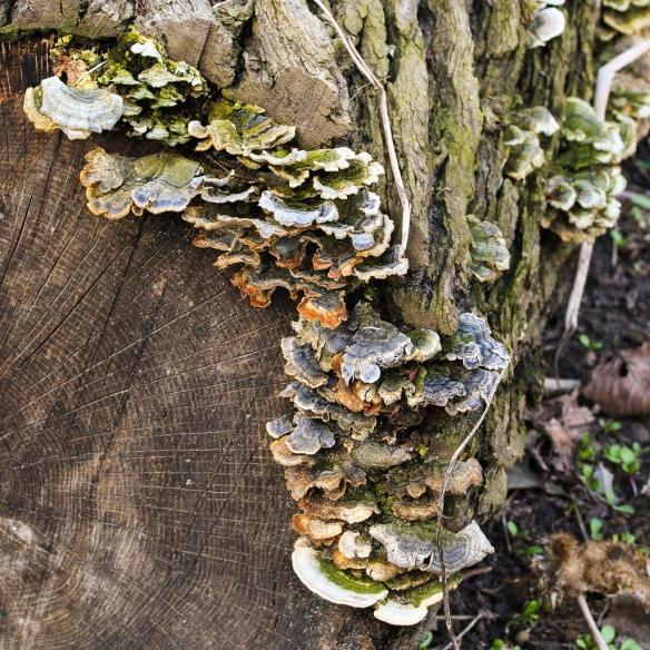 turkey tail fungus-