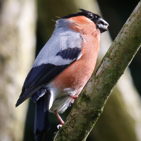 bullfinch-England-