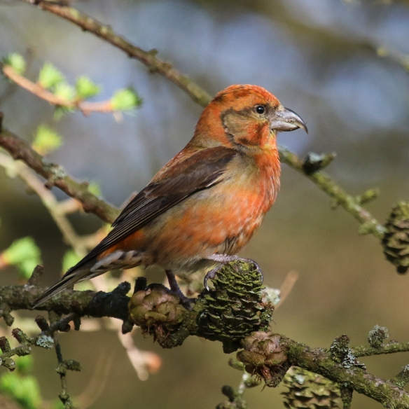 Common (Red) Crossbill-