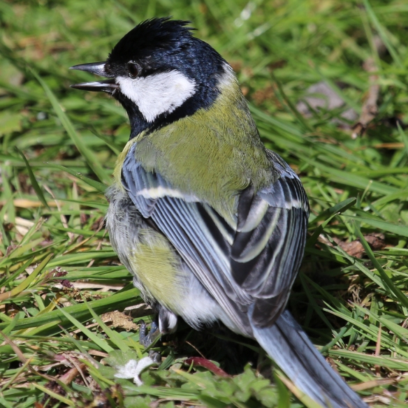 Great Tit-