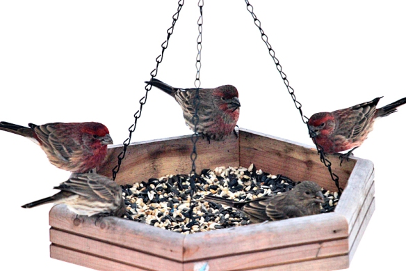 house-finches