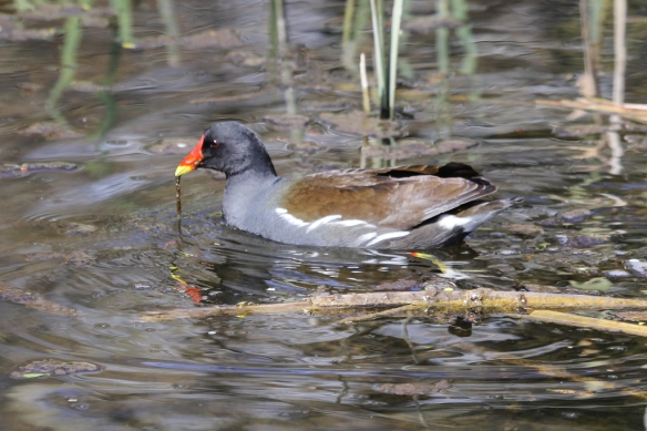 Moorhen feeding on algae