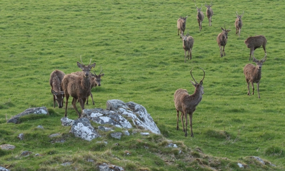 Red deer at Rothiemurchus forest