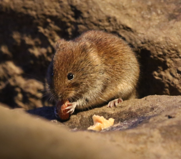 Mouse at Rothiemurchus forest hide
