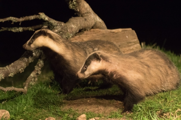 Badger at Rothiemurchus forest hide