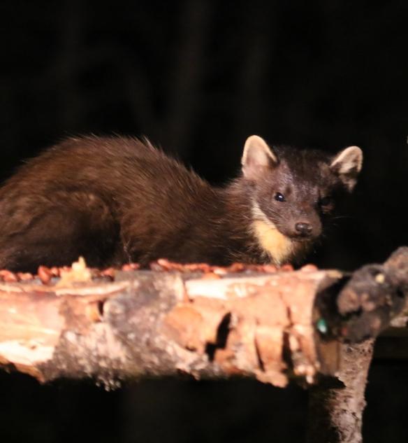 Pine Marten at Rothiemurchus forest hide