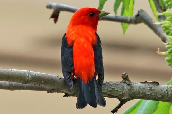 scarlet-tanage