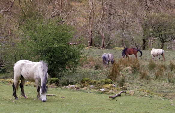 Welsh ponies ignored us, so intent on grazing the short grass along the hiking path to Aber Falls