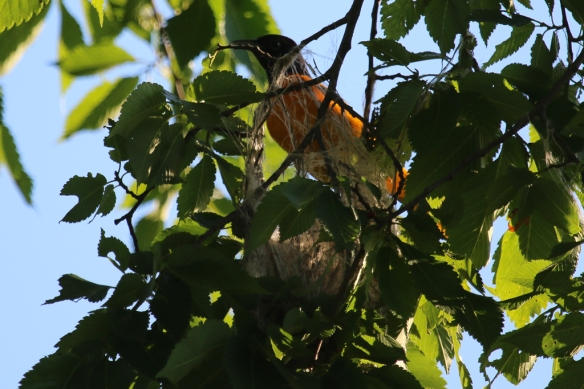baltiimore oriole at his nest-