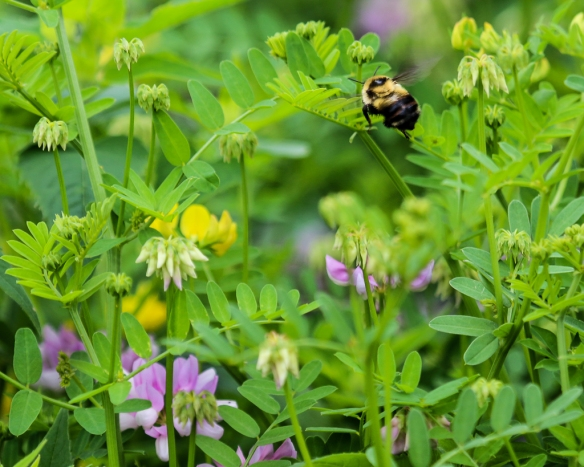 bumblebee and wildflowers-