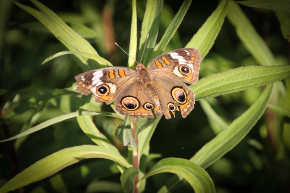 common buckeye-