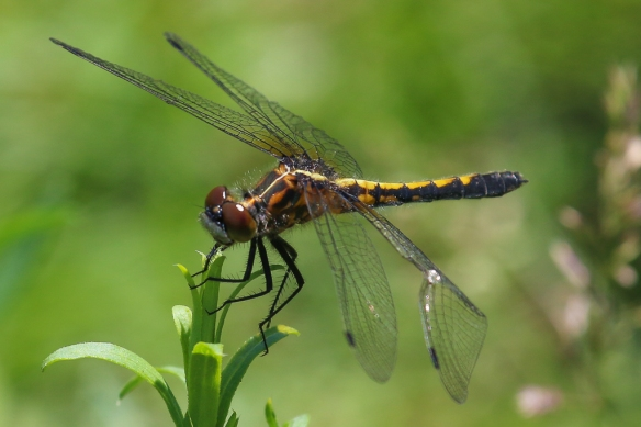 dot-tailed whiteface dragonfly
