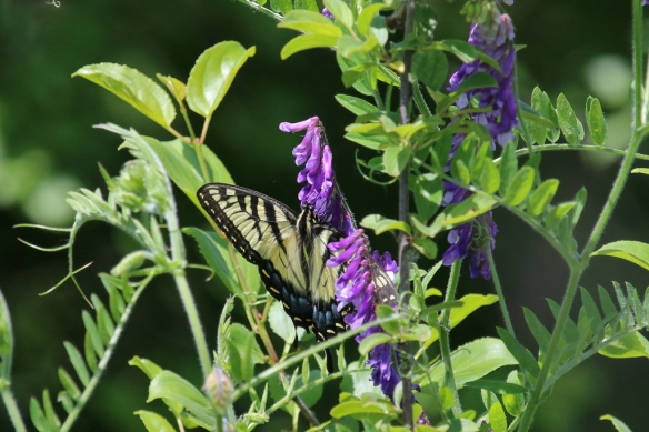 Tiger Swallowtails butterfly