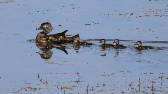 Wood Duck hen and duckling