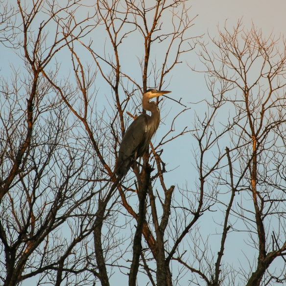 great blue heron in a tree-