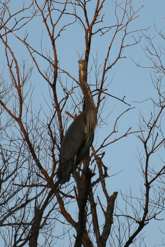 great blue heron in a tree-