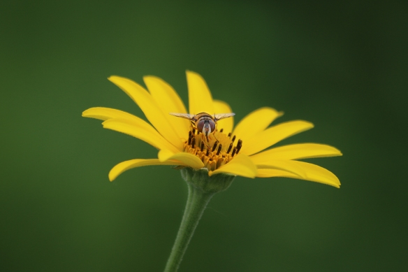 hover fly on sunflower-