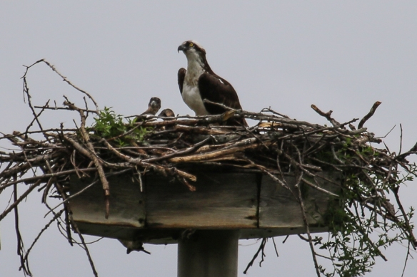 osprey and chicks-
