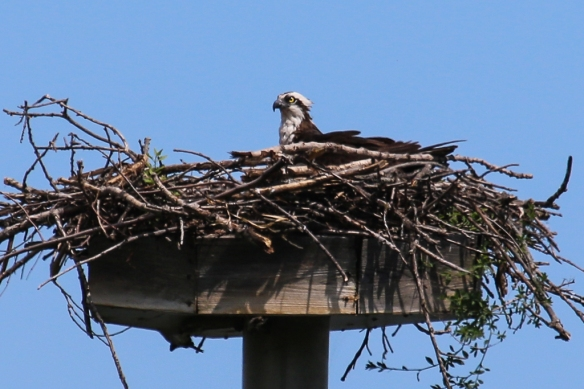 osprey at the nest-