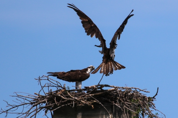 osprey at their nest