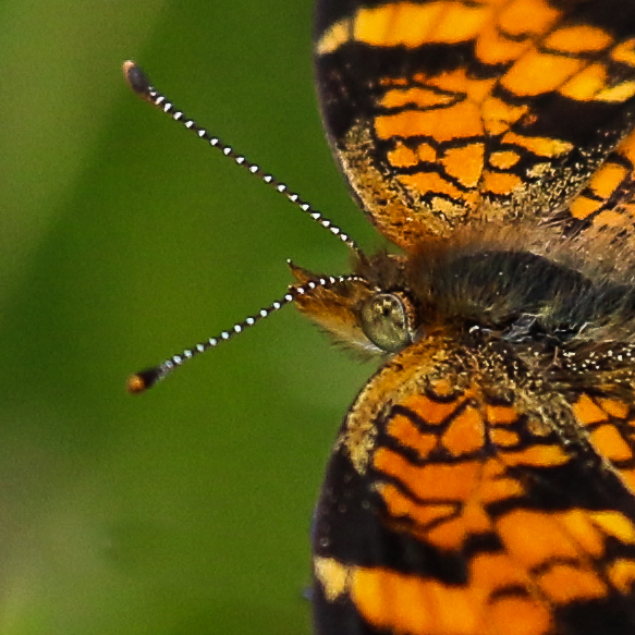 pearl crescent butterfly-